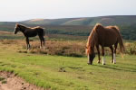 Ponies on the Quantocks